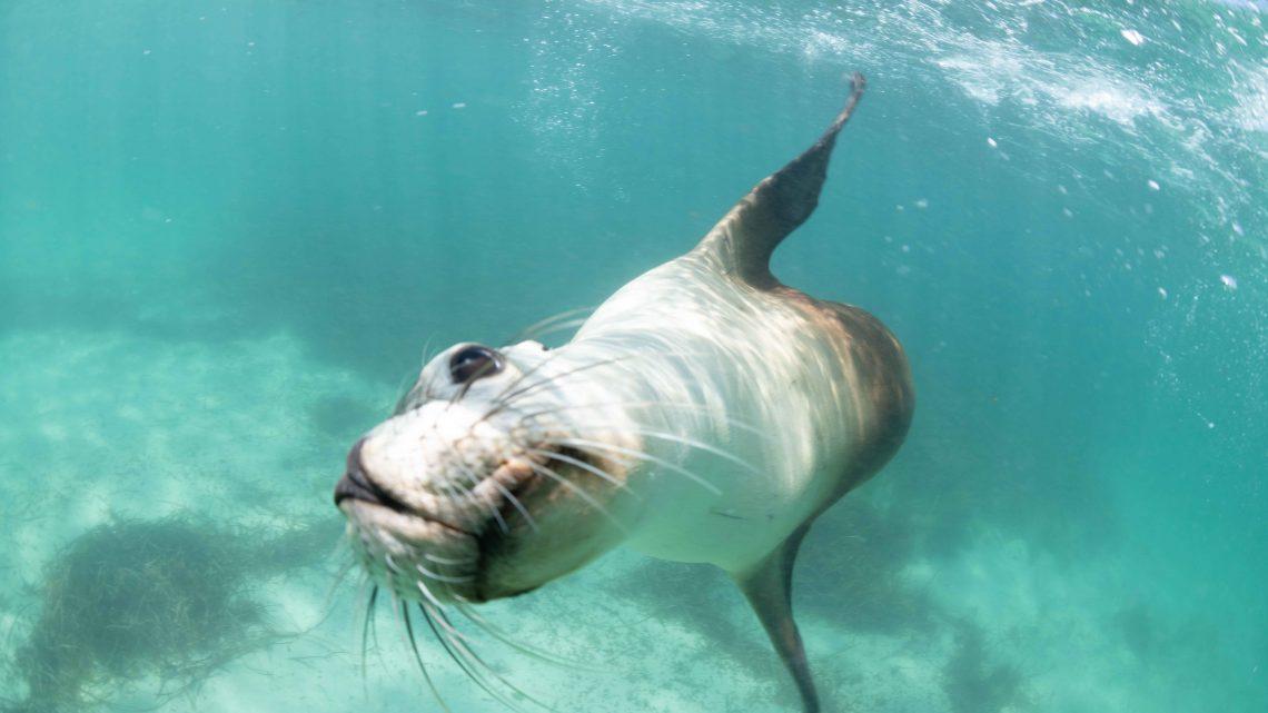 グレートバリアリーフだけじゃない!南オーストラリアにアシカとホオジロザメを見に行こう