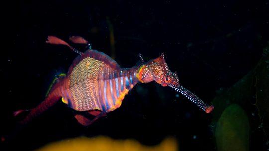 超絶秘島タスマニアに棲む真紅のウィーディーシードラゴンに会う